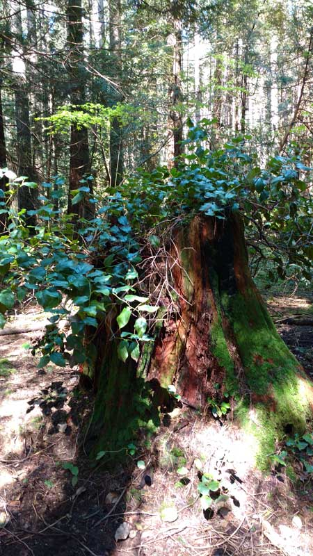 Ancient stumps nurturing new growth. Pacific Spirit Regional Park, Vancouver. Photo: Naomi Reichstein